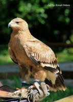 Raubadler oder Savannenadler / Tawny Eagle by bluesgrass
