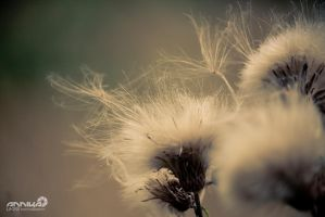 life cycle of a thistle by AnnikaLikes