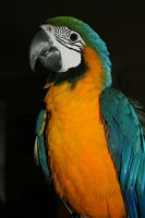 Parrot by Gimmiapuppy