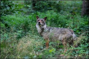 European Wolf 57 by Canisography