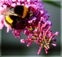 Bumble bee by inbalance