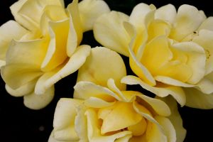Fresias by Applemac12