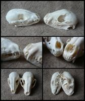 Comparison: Juvenile And Adult Raccoon Skull by CabinetCuriosities