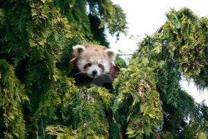 red panda by GMCollins
