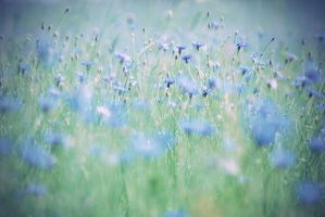cornflower field. by magnesina