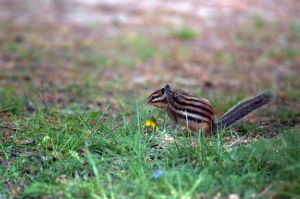 little chipmunk by hannahMCx