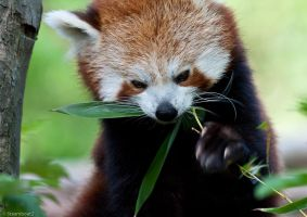 Red Panda by steamboat2