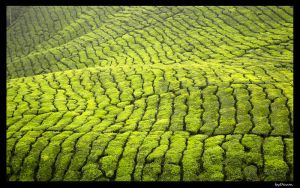 Tea plantation I by Devun