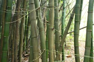 Bamboo XXV by KW-stock