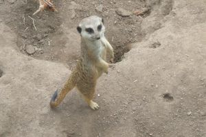 Hey Another Meerkat by NutBunnies