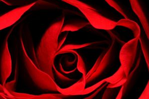 Love Of Rose by SampleOfSoul