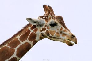 Giraffe Profile by MacroMagnificent