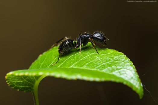 Camponotus foreli by FemtoGraphy