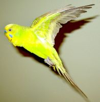 Budgie in flight 23 by greencheek
