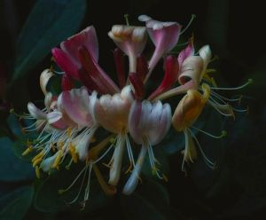 honeysuckle 3 by awjay