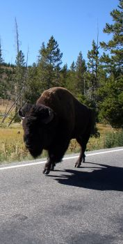 Road bison by Cynosura