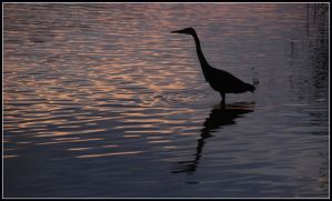 Another morning heron by jchanders