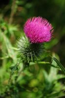 Mountain Thistle by Pi-ray