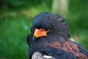Bateleur Eagle 02 by pduffill