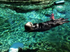 Sea Otter 13 -- Sept 2009 by pricecw-stock