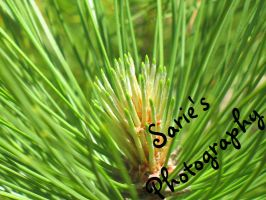 Close Up Pine by Sariebear20