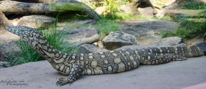 Monitor Lizard 01 by Indefinitefotography