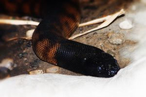 Black Headed Python by S-H-Photography