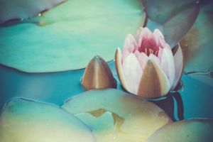 Water lily by NRichey