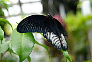 Pipevine Swallowtail Butterfly by ParadoxGirl411