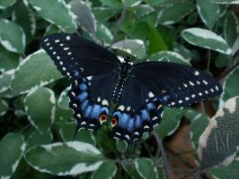 Black Swallowtail On Sage by Pentacle5