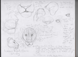 Lioness Head, Face Study by ChachiTonks
