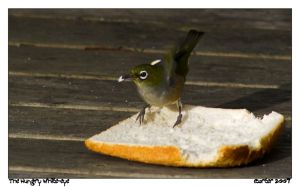 The Hungry White-Eye by carterr