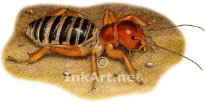 Jerusalem Cricket or Potato Bug by rogerdhall