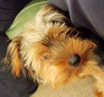 Yorkshire terrier pup by spirtofthedevil