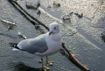 I'm One Handsome Seagull by ChrisTheJeweler