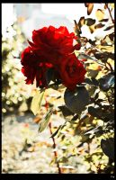 Rose by Shon-T