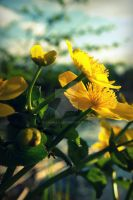 Yellow flowers by Janikaa