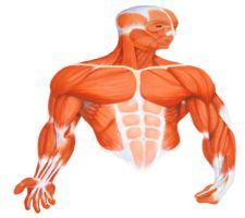 Muscle illustration by Shinaig
