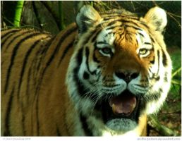 Amur Tiger by In-the-picture