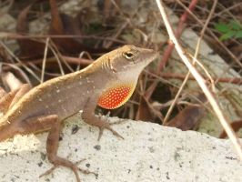 Cuban Anole by Cerestes-Stock