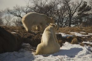 Polar Bears: 2014 - March - 1 by toshema