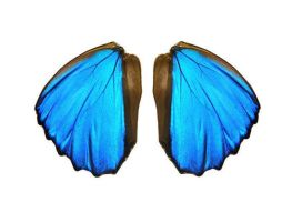 Blue Morpho Wings by TheButterflyBabe