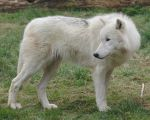Standing Arctic Wolf Stock 20130401-1 by FurLined