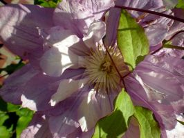 Pink Clematis by ShinigamiRubberDucky