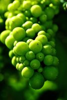 Summer Grapes by Harrier2569