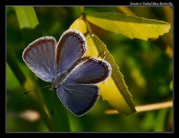 Eastern Tailed Blue 08-2 by boron