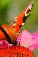 Motyl. by Fiedka