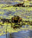 Ribbit by cindy1701d