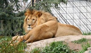 Tautphaus Zoo 48 Lion by Falln-Stock