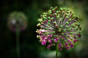 Allium by George---Kirk